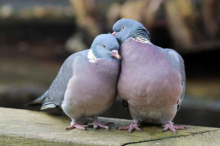 Güvercinler birbirine benzer